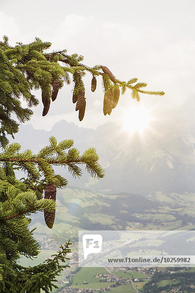 kegelförmig,Kegel,Baum,hängen,Kiefer,Pinus sylvestris,Kiefern,Föhren,Pinie