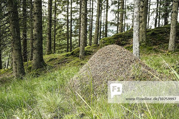Wald,Ameisenhügel