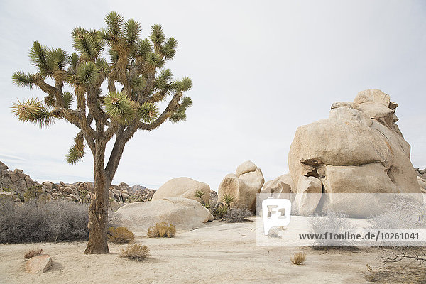 Baum,Himmel,Wachstum,Wüste,Joshua Tree,Yucca brevifolia