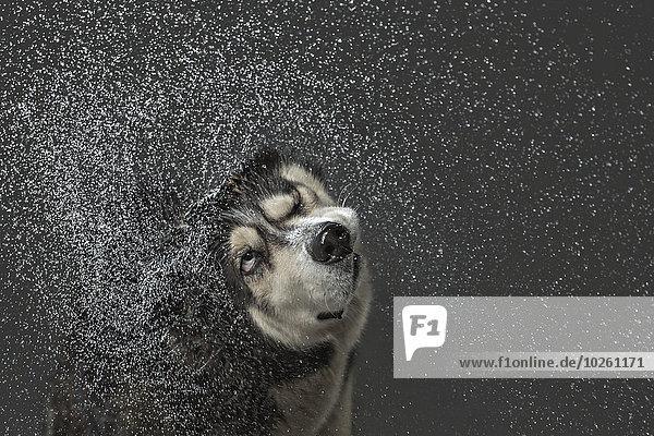 Wasser,grau,über,Hintergrund,Husky,schütteln