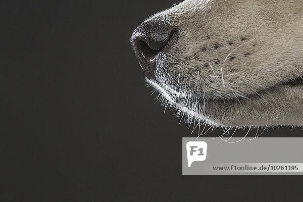 Anschnitt,Fotografie,grau,über,Hintergrund,Husky