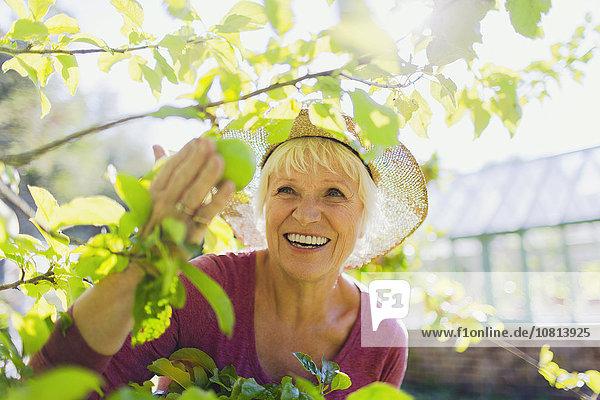 Senior,Senioren,Frau,lächeln,Baum,Garten,Sonnenlicht,Apfel,aufheben