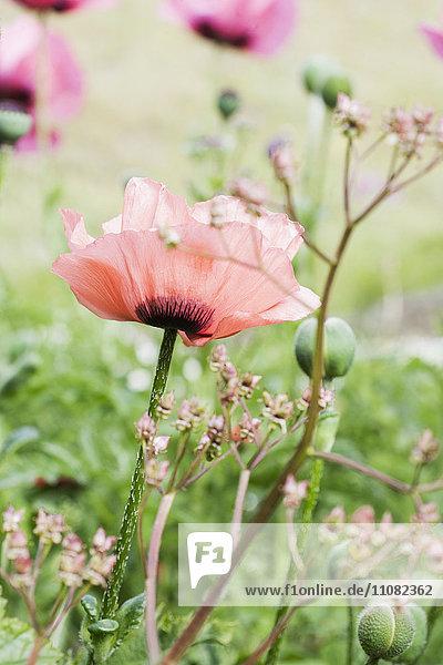 Asien,Außenaufnahme,Beauty,Blume,Blumenbeet,Blumenblüte