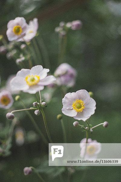 Attraktivität,Außenaufnahme,Blume,Blumenblüte,blühen,Blüte