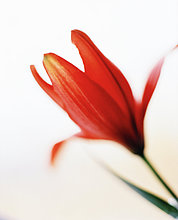 Red Lily Nahaufnahme.