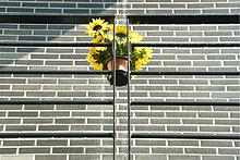 Unechter Sonnenblumen hängen Geländer, Untersicht