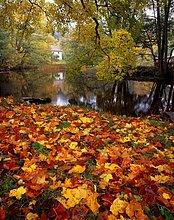 Ahorn, Herbst. Hävla, Östergötland, Schweden