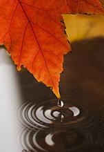 Wasser tropft von Herbst leaf