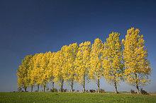 Espe, Populus tremula ,Baum ,Pappel