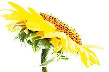 Nahaufnahme der Sonnenblume against white background