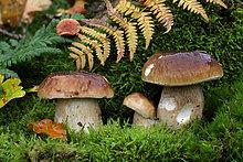 Junge Steinpilze im herbstlichen Wald auf Moos wachsend (Boletus edulis)