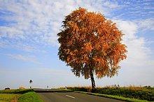 Freistehende Birke ein Einer Landstraße Im Herbstlaub