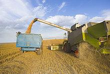 Kombinieren Sie Ernten Weizen und Trailer in sonnigen, ländlichen Feld ausfüllen