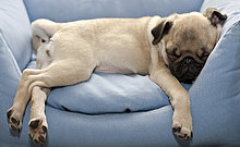 Mops, Welpe, schläft im Sessel