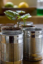 Wiederverwertbar Blechdosen mit Bean Sämlinge