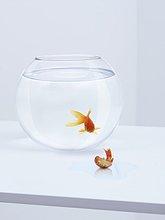 Goldfisch in Fischglas schaut auf zappelnden Goldfisch außerhalb des Fischglases