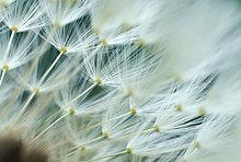 Pusteblumen Detail (Taraxacum officinale)