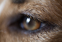 Extreme Close Up der Dog's Eye