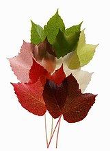Bunte Blätter vom Wilden Wein