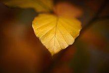 Herbstblatt, close-up