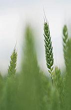Nahaufnahme Ohr Weizen Anlage im Feld
