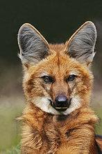 Mähnenwolf Chrysocyon Brachyurus, Pantanal, Brasilien