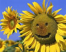 Lächelnd Sonnenblume