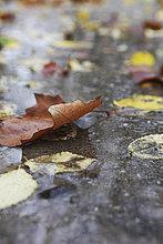 Herbstlich verfärbtes Blatt in einer Regenpfütze im Herbst