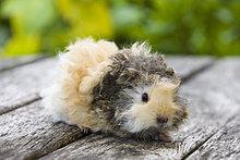 Guinea ,Schwein