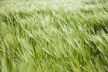 Lange Gras, Nahaufnahme