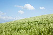 Großbritannien ,Hügel ,lang, langes, langer, lange ,Feld ,Gras ,Padstow ,Cornwall ,England