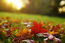 Ahornblatt,Herbst,Deutschland,Sachsen