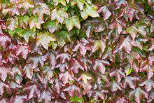 Farbe,Farben,Wand,Wachstum,wechseln,Garten,Herbst,Kletterpflanze,England,japanisch,September