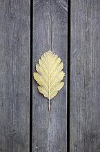 Pflanzenblatt,Pflanzenblätter,Blatt,Herbst,Holzterrasse