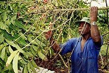 Westafrika ,ernten ,Kirsche ,Kaffee ,Elfenbeinküste