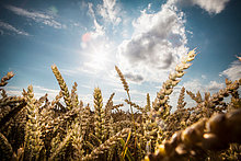 Weizen in Feld
