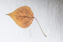kleben ,bedecken ,Fenster ,Pflanzenblatt, Pflanzenblätter, Blatt ,Regen