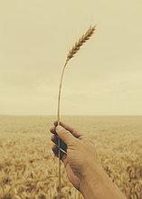 Mensch ,halten ,hoch, oben ,reif ,Weizen ,Menschliches Ohr, Menschliche Ohren ,Stängel