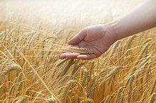 berühren ,Weizen