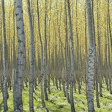 Baum,gelb,Bauernhof,Hof,Höfe,Wachstum,Reihe,Helligkeit,Baumrinde,Rinde,Oregon,blass,Pappel