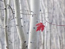 Espe,Populus tremula,Baum,Pflanzenblatt,Pflanzenblätter,Blatt,weiß,Hintergrund,Herbst,rot,Baumstamm,Stamm,1,Baumrinde,Rinde,Sahne,Ahorn