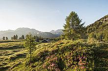 Berg ,Rose ,Wiese ,Österreich ,Pongau ,Rhododendron ,Land Salzburg