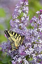 Fliederbusch,Flieder,Fliederbüsche,Blume,kanadisch,Tigerschwalbenschwanz