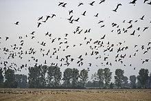Kornfeld,über,weiß,Gans,Vogelschwarm,Vogelschar,Deutschland,Nordrhein-Westfalen