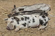Mangalitza-Schweine und Turopolje-Schwein (Sus scrofa domestica), Ferkel, Tirol, Österreich
