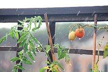 fallen,fallend,fällt,Rom,Hauptstadt,Pflanze,Regen,Garten,Tomate,schwer,Italien