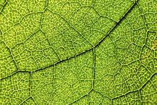Grünes Blatt, Hasel (Corylus), Blattadern