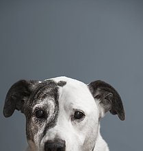 Bulle,Stier,Stiere,Bullen,Portrait,Hund,dänisch,Mischling,groß,großes,großer,große,großen,Zeche