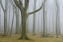 Küste,Wald,Nebel,Buche,Buchen,Bad Doberan,Deutschland