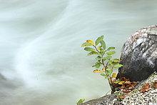 Weidenbaum,salix,Weide,nebeneinander,neben,Seite an Seite,Wasser,fließen,Close-up,Herbst,Schlucht,Deutschland,Strauch,Oberbayern